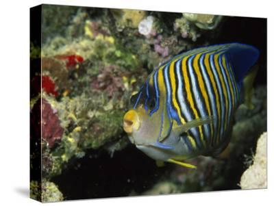 A Side View of a Regal Angelfish, Pygoplites Diacanthus-Tim Laman-Stretched Canvas Print