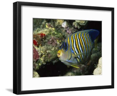 A Side View of a Regal Angelfish, Pygoplites Diacanthus-Tim Laman-Framed Photographic Print