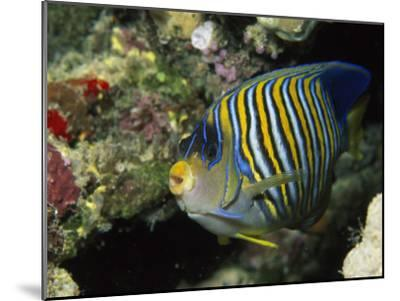 A Side View of a Regal Angelfish, Pygoplites Diacanthus-Tim Laman-Mounted Photographic Print