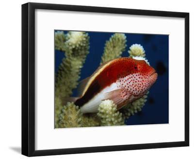 A Blackside Hawkfish Waits Among Coral Branches for Passing Prey-Tim Laman-Framed Photographic Print