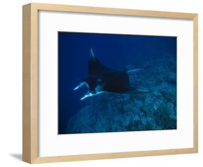 A Graceful Manta Ray Swimming over the Great Astrolabe Reef-Tim Laman-Framed Photographic Print