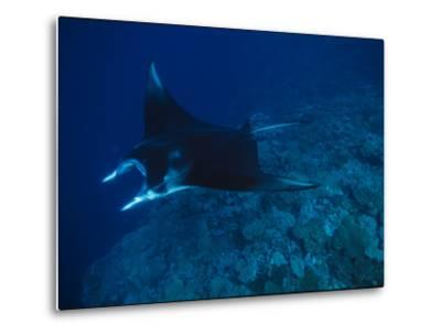 A Graceful Manta Ray Swimming over the Great Astrolabe Reef-Tim Laman-Metal Print