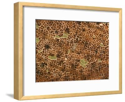 Photo Magnifying Detail of a California Black Oak Leaf-Phil Schermeister-Framed Photographic Print