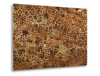 Photo Magnifying Detail of a California Black Oak Leaf-Phil Schermeister-Metal Print