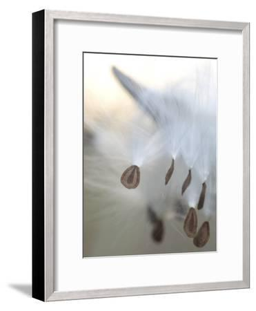 Close Up of Milkweed Seeds Shot Near Cook's Meadow in Yosemite Valley-Phil Schermeister-Framed Photographic Print