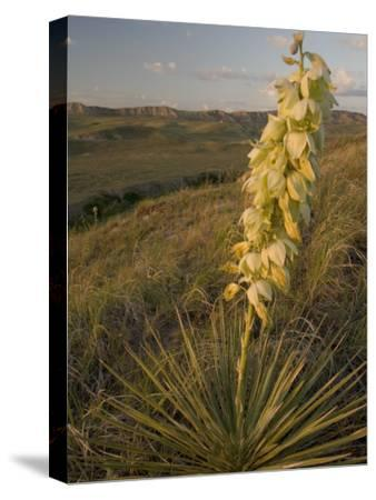 A Yucca Plant Grows on the Little Missouri National Grasslands-Phil Schermeister-Stretched Canvas Print