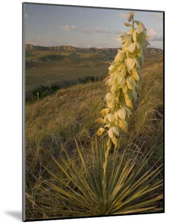 A Yucca Plant Grows on the Little Missouri National Grasslands-Phil Schermeister-Mounted Photographic Print