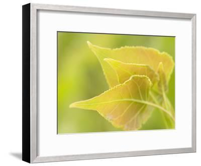 Close Up of New Leaves Growing on a Plains Cottonwood Tree-Phil Schermeister-Framed Photographic Print