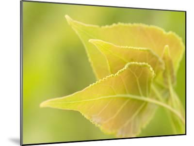 Close Up of New Leaves Growing on a Plains Cottonwood Tree-Phil Schermeister-Mounted Photographic Print