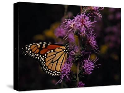 Monarch Butterfly Sipping Nectar from Wildflowers-Raymond Gehman-Stretched Canvas Print