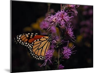 Monarch Butterfly Sipping Nectar from Wildflowers-Raymond Gehman-Mounted Photographic Print