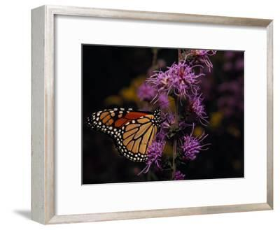 Monarch Butterfly Sipping Nectar from Wildflowers-Raymond Gehman-Framed Photographic Print