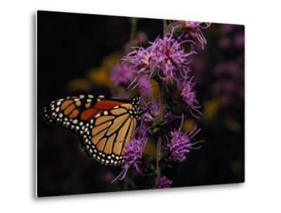 Monarch Butterfly Sipping Nectar from Wildflowers-Raymond Gehman-Metal Print