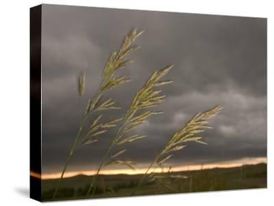 Prairie Wedge Grass Stands Out Against Thunderclouds in Grasslands-Phil Schermeister-Stretched Canvas Print