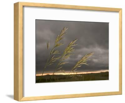 Prairie Wedge Grass Stands Out Against Thunderclouds in Grasslands-Phil Schermeister-Framed Photographic Print