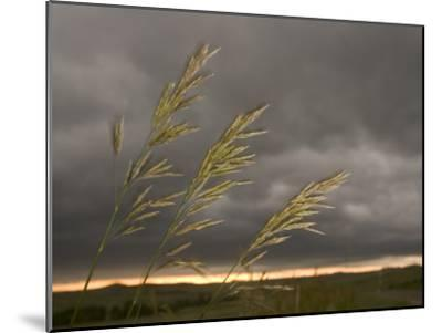 Prairie Wedge Grass Stands Out Against Thunderclouds in Grasslands-Phil Schermeister-Mounted Photographic Print