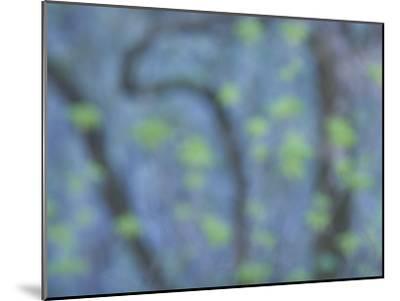 California Buckeye Leaves Emerge in Spring in Western Yosemite-Phil Schermeister-Mounted Photographic Print
