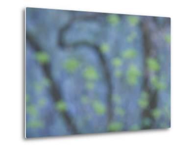 California Buckeye Leaves Emerge in Spring in Western Yosemite-Phil Schermeister-Metal Print