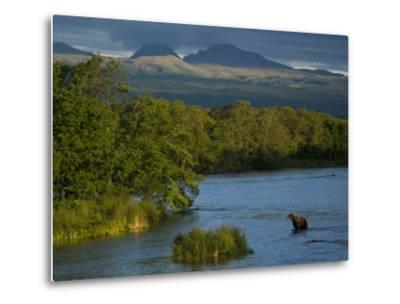 A Brown Bear Wading in a River in the Kronotsky Nature Reserve-Michael Melford-Metal Print