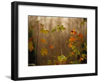 Maple Saplings with Hints of Autumn Color-Raymond Gehman-Framed Photographic Print