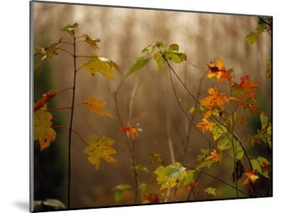 Maple Saplings with Hints of Autumn Color-Raymond Gehman-Mounted Photographic Print