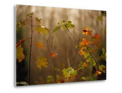 Maple Saplings with Hints of Autumn Color-Raymond Gehman-Metal Print