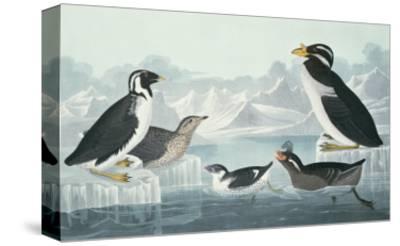 Black-Throated Guillemot, Nobbed-Billed Auk, Curled-Crested Auk, Horn-Billed Guillemot-John James Audubon-Stretched Canvas Print