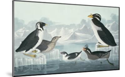 Black-Throated Guillemot, Nobbed-Billed Auk, Curled-Crested Auk, Horn-Billed Guillemot-John James Audubon-Mounted Giclee Print