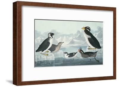 Black-Throated Guillemot, Nobbed-Billed Auk, Curled-Crested Auk, Horn-Billed Guillemot-John James Audubon-Framed Giclee Print