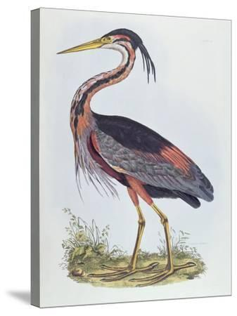Purple Heron, from 'Illustration of British Ornithology'-Prideaux John Selby-Stretched Canvas Print