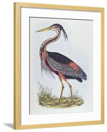 Purple Heron, from 'Illustration of British Ornithology'-Prideaux John Selby-Framed Giclee Print