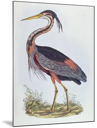 Purple Heron, from 'Illustration of British Ornithology'-Prideaux John Selby-Mounted Giclee Print