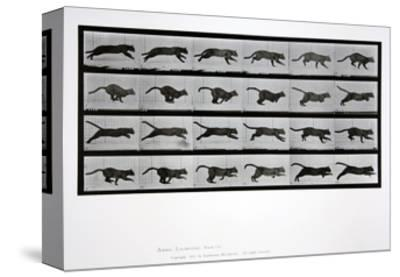 Cat Running, Plate 720 from 'Animal Locomotion', 1887-Eadweard Muybridge-Stretched Canvas Print