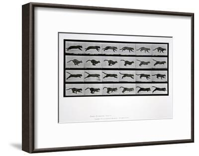 Cat Running, Plate 720 from 'Animal Locomotion', 1887-Eadweard Muybridge-Framed Giclee Print