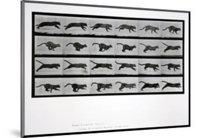 Cat Running, Plate 720 from 'Animal Locomotion', 1887-Eadweard Muybridge-Mounted Giclee Print