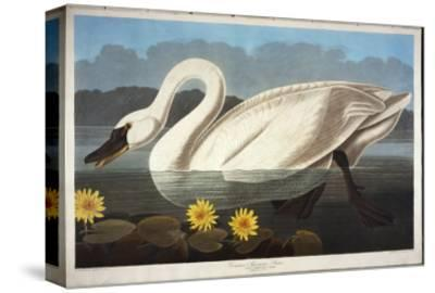 Common American Swan. Whistling Swan-John James Audubon-Stretched Canvas Print