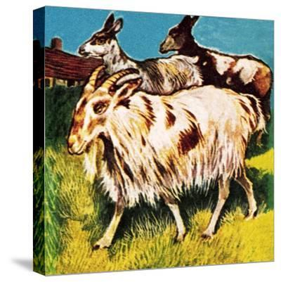 A Herd or Tribe of Goats-English School-Stretched Canvas Print
