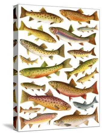 Trout-English School-Stretched Canvas Print