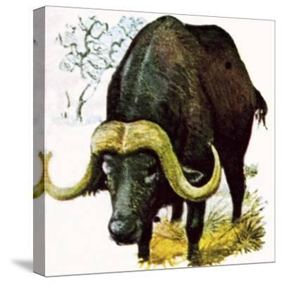 Water Buffalo-English School-Stretched Canvas Print
