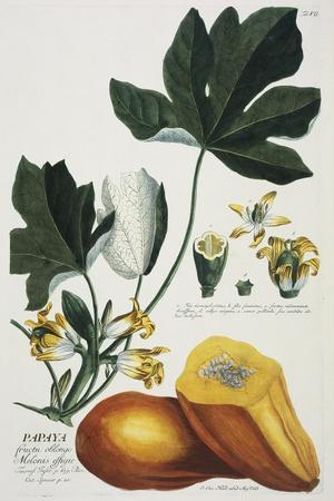 Papaya-Georg Dionysius Ehret-Stretched Canvas Print