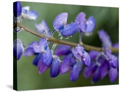 Close-Up of Lupine-Douglas Steakley-Stretched Canvas Print