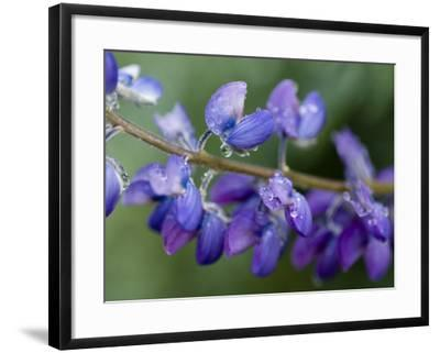 Close-Up of Lupine-Douglas Steakley-Framed Photographic Print