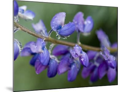 Close-Up of Lupine-Douglas Steakley-Mounted Photographic Print