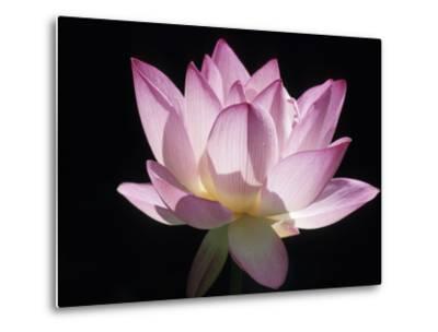Lotus Flower (Nelumbo Lutea)-Holger Leue-Metal Print