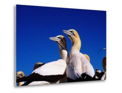 Cape Gannets at Colony-Frans Lemmens-Metal Print