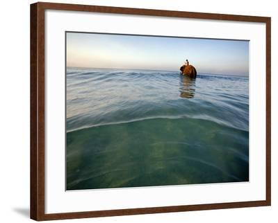 Elephant 'Rajes' Wading into Sea with His Mahout on Back-Johnny Haglund-Framed Photographic Print
