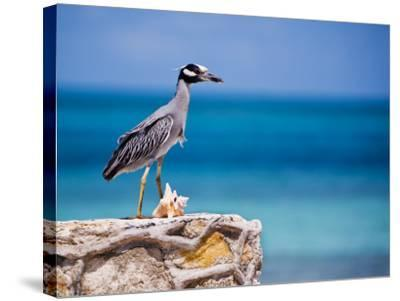 Adult Yellow-Crowned Night-Heron at Barracuda's, Cape Eleuthera-Michael Lawrence-Stretched Canvas Print