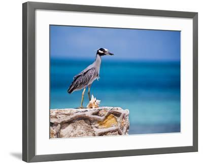 Adult Yellow-Crowned Night-Heron at Barracuda's, Cape Eleuthera-Michael Lawrence-Framed Photographic Print