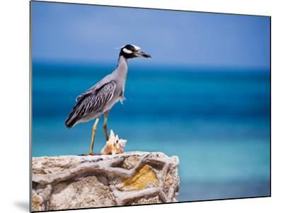 Adult Yellow-Crowned Night-Heron at Barracuda's, Cape Eleuthera-Michael Lawrence-Mounted Photographic Print