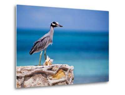 Adult Yellow-Crowned Night-Heron at Barracuda's, Cape Eleuthera-Michael Lawrence-Metal Print